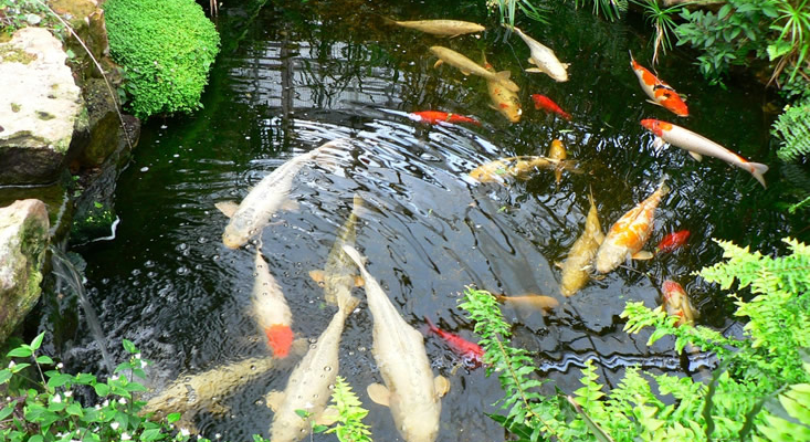 Ecoaquatics fish tank cleaning hertfordshire fish tank for Maintaining a garden pond